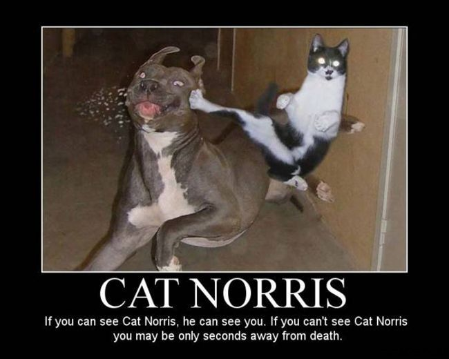 CatNorris.jpg